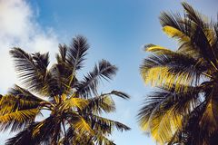 Clear Blue Sky over Two Coconut Trees Royalty Free Stock Photo
