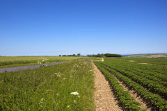 Clear blue sky over a Yorkshire potato crop. A summer potato crop near sledmere in the yorkshire wolds with wildflowers and chalky soil beside a road under a Royalty Free Stock Photography