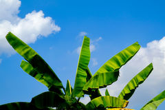 Clear  blue sky white cloud and green leaf tree day time for background backdrop use Royalty Free Stock Photography