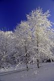 Clear Blue & Snow White. Snow covered trees and crystal blue sky Royalty Free Stock Photos