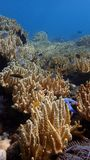 Coral reef in indonesia, bali, damsel fish and soft corals royalty free stock photo