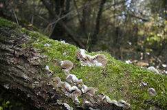Clear brown velvety fungi Stock Images