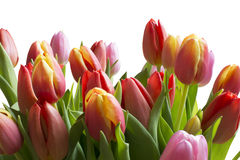 Clear Color tulips Stock Image