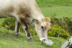 Clear cow Stock Images