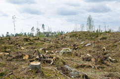 Clear cut forest area. Stumps at a clear cut forest area Royalty Free Stock Photo