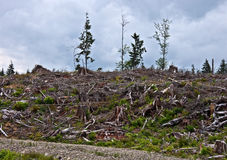 Clear Cut Forest. This is a clear cut forest with the lumber laying on the forest floor, with only a few trees standing in the background, on a cloudy day Royalty Free Stock Photography