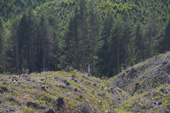 Clear cut forest, signs of reforestation Stock Photography