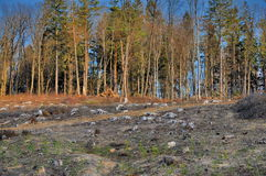 Clear cutting forest. Forest cut down in romanian Carpathians mountains Royalty Free Stock Photography