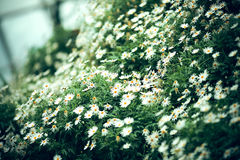 The clear daisy flower background, selective focus Royalty Free Stock Images