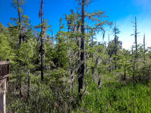 clear day in a green swamp Royalty Free Stock Images