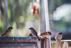 On a clear day, Passer montanus birds gather and perch on the leak, which is the background. Passer montanus birds perch on the leak on a clear day, as a stock image