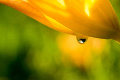 A clear drop of water flows down the flower petal. Macro Royalty Free Stock Images