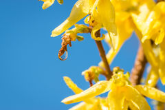 Clear drop of water. Hanging from a branch among yellow flowers Royalty Free Stock Image