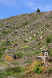 Clear fell 3. Image of a Welsh hillside of clear felled forestry showing the stumps, brash and forest regrowth Stock Photo