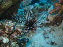 Clear fin lion fish royalty free stock photography