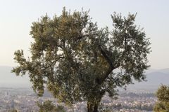 Clear front shot of olive tree in anatolia. At end of the spring season in Izmir, Turkey Stock Photography