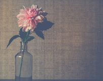 Clear Glass Flower Vase With Pink Dahlia Flower in Bloom Royalty Free Stock Image