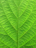 Clear green leaf of tree Stock Photography