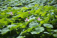 Clear lake lotus Stock Image