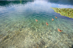 Clear lake water. Clear water of the mountain lake with fishes and ducks Stock Photo