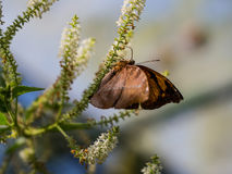 The clear moment of brown butterfly hanging upside down on the w. Hite flower Stock Images