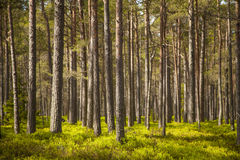 Clear pine forest. Clean pine forest with green blueberry mint stock photo