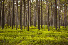 Clear pine forest Stock Image