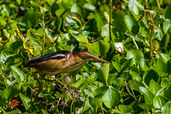 A Clear Profile Shot of a Least Bittern (heron) in a Texas Swamp. Royalty Free Stock Images