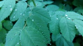 Clear raindrops form delicate patterns on a gently swaying leaf. Raindrops leaves stock photo