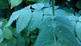 Clear raindrops form delicate patterns on a gently swaying leaf. Raindrops leaves royalty free stock photo