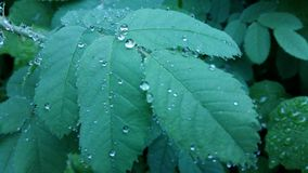 Clear raindrops form delicate patterns on a gently swaying leaf. Raindrops leaves royalty free stock image