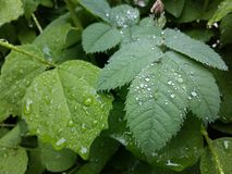 Clear raindrops form delicate patterns on a gently swaying leaf. Raindrops leaves royalty free stock images