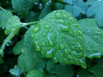 Clear raindrops form delicate patterns on a gently swaying leaf. Raindrops leaves royalty free stock photography