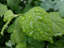 Clear raindrops form delicate patterns on a gently swaying leaf. Raindrops leaves stock images