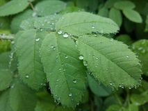 Clear raindrops form delicate patterns on a gently swaying leaf. Raindrops leaves stock image