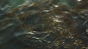 Pure sea water and algae on a rocky bottom, swaying from the waves. Clear sea water and brown algae on a rocky bottom, swaying from the waves stock video
