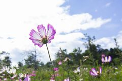 Clear skies and Cosmos bipinnata. In August, Cosmos in the mountains and fields. Cosmos bipinnata is the girl`s sincerity, the girl`s pure feeling, pure and royalty free stock photo