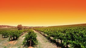 Clear Sky Vineyard Stock Photos