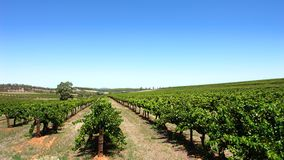 Clear Sky Vineyard. Scenic Vineyard on a clear day in the Barossa Valley stock images