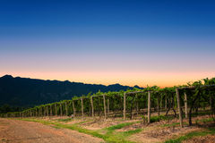 Clear Sky Vineyard Royalty Free Stock Photo