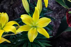 Clear spotless yellow Asiatic Lily. Bright six petal bulb lily perennial curved bold shining lily garden pure clean ilium Stock Photos