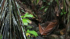 Clear stream in Vallee de Mai Nature Reserve. In Praslin. Seychelles stock video