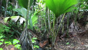 Clear stream in Vallee de Mai Nature Reserve. In Praslin. Seychelles stock video footage