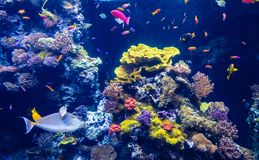 Tropical colour fish and coral reef royalty free stock image