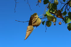 Clear Very blue sky and tree branch with dry leaves. Autumn time tree branch with dry leaves Royalty Free Stock Image