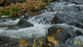 Clear Water Creek Streaming Through Autumn Forest With Yellow Leaves. Day. Zoom stock video