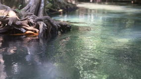 Clear water flows among the mangrove roots. Of trees in the tropics on a sunny day stock footage