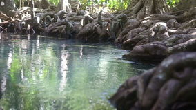 Clear water flows among the mangrove roots. Of trees in the tropics on a sunny day stock video footage