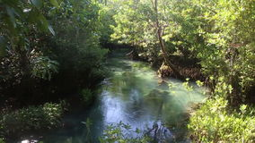 Clear Water Flows among the Mangrove Roots. Of trees in the tropics on a sunny day stock video