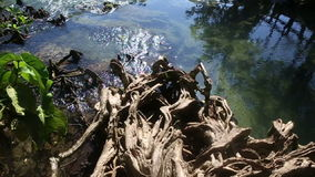 Clear Water Flows among the Mangrove Roots stock video